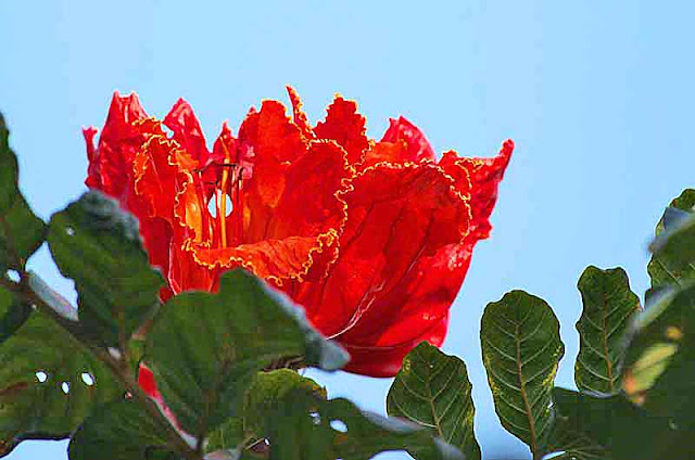 African Tuliptree, Red flowers,Okinawa