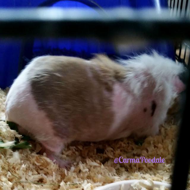 Guinea Pig shaved