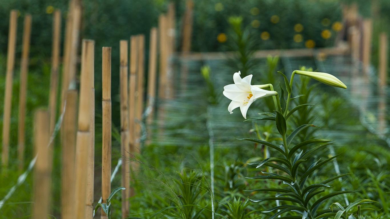 Hình ảnh các cánh đồng hoa loa kèn Hà Nội tháng 4