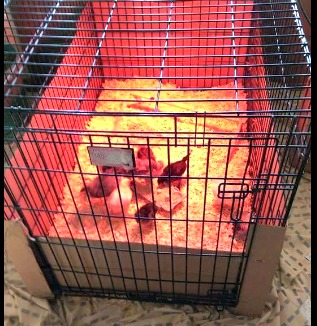If you have a dog crate you're not using or an old bird or bunny cage, you've got a perfect chick brooder.