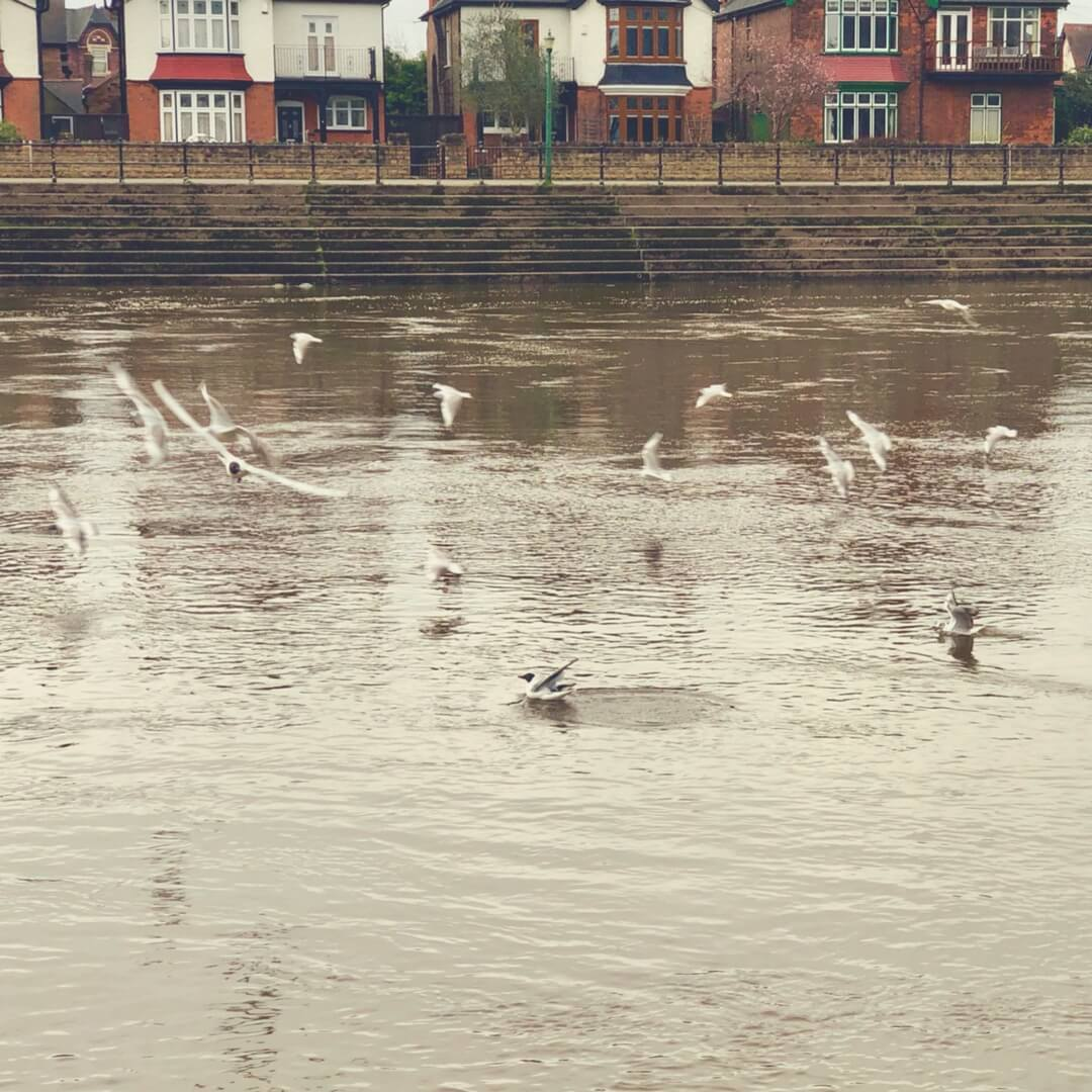 Birds flying above the River Trent.