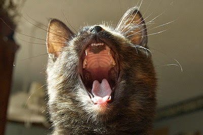 Cat yawning showing teeth