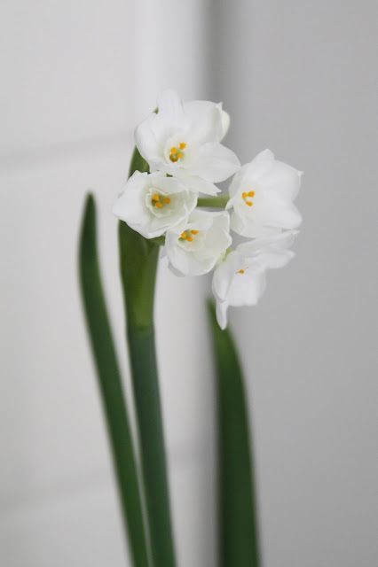 flowers, bulbs, paperwhites, narcissus, houseplants, Anne Butera, My Giant Strawberry