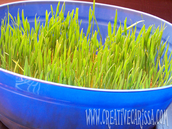 how to grow edible easter grass from seed