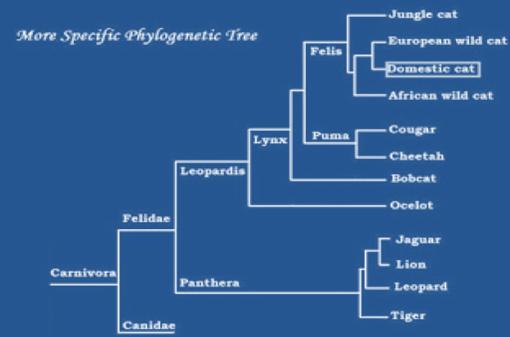 evolusi kucing Kemiripan bentuk fisik anggota Felidae menyebabkan pada masa lalu anggota-anggotanya dikelompokkan pada satu marga (Felis) atau dua marga saja (Felis, kucing kecil, dan Panthera, kucing besar). Kajian filogeni dengan menggunakan bantuan teknik molekular menunjukkan bahwa variasi di dalam anggota Felidae cukup besar, sehingga klasifikasi berikut yang sekarang mulai dianut oleh para peminat zoologi. Ada 37 spesies Felidae yang diketahui di dunia saat ini. Moyang Felidae diduga berasal dari daratan Asia danmenyebar ke benua lainnya lewat jembatan darat (Vella, Carolyn  et al. 2002. Robinson's Genetics for Cat Breeders and Veterinarians, 4th ed. Oxford: Butterworh Heinemann ISBN 0750640693 dalam wikipedia Felidae).