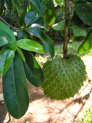 Sirsak ialah buah yang mempunyai banyak faedah bagi kesehatan Manfaat Daun Sirsak