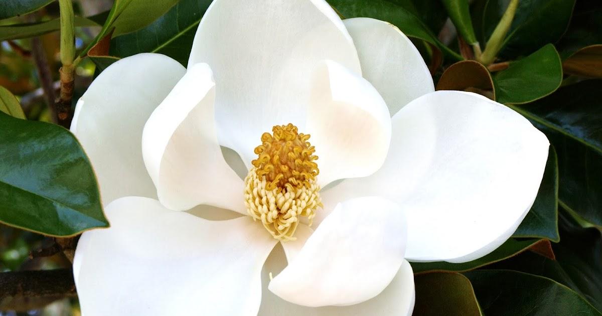 Oscar brisolara magn lia flor da perseveran a simpatia - Magnolia planta cuidados ...