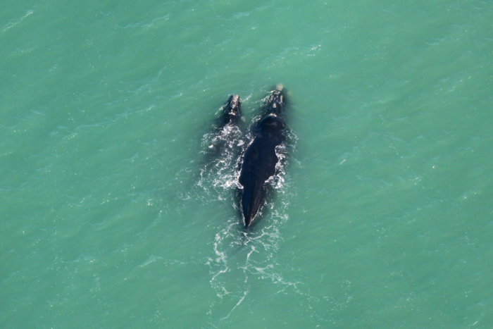 Südliche Glattwale bzw. Südkaper bei Hermanus