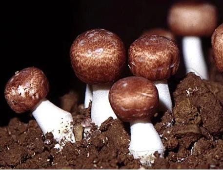 ngừa ung thư bằng nấm agaricus