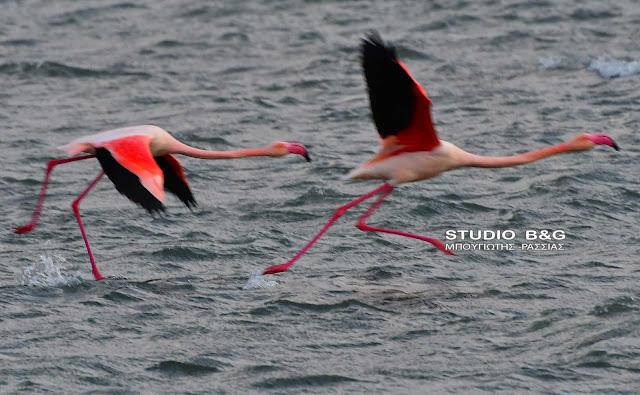 Ροζ πανέμορφα φλαμίνγκο κατέφθασαν στο Ναύπλιο
