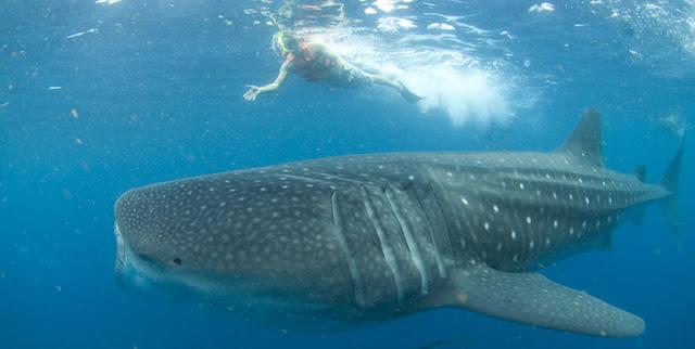 Nade com tubarões-baleia