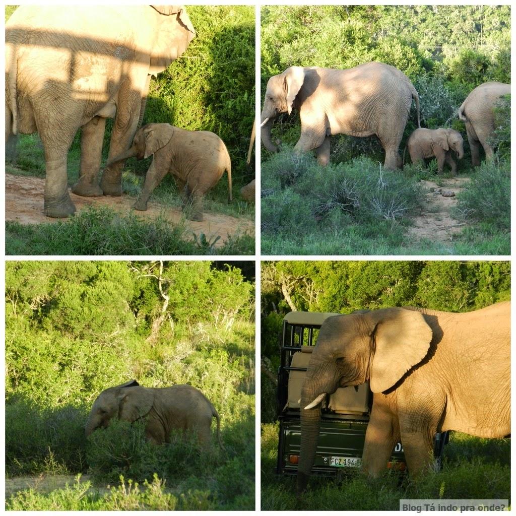 elefantes no safári