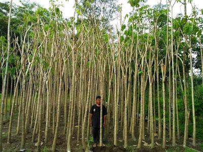 Harga Jual Pohon Tabebuya Pink Tinggi 3 Meter