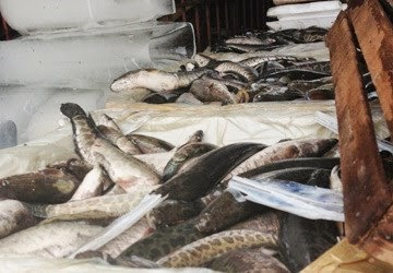 Hàng vạn gà vịt lậu, cá lậu ồ ạt tuồn từ Trung Quốc vào Việt Nam