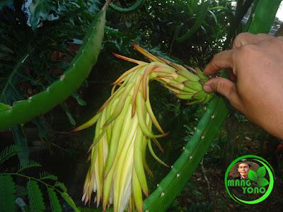 FOTO : Bunga buah naga di halaman rumah admin udah layu dan kuncup