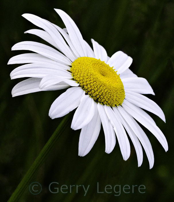 pictures of daisies flowers  flower, Beautiful flower