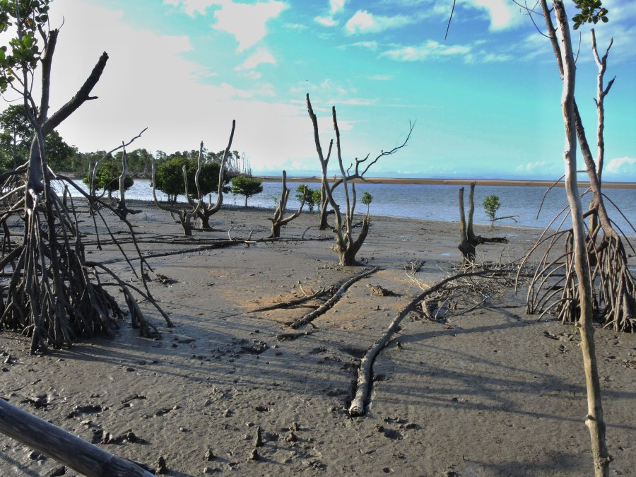 Seaward edge of cyclone damaged mangrove swamp