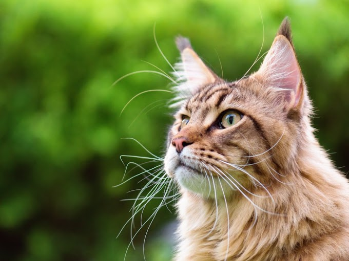 Maine Coon ♥♥