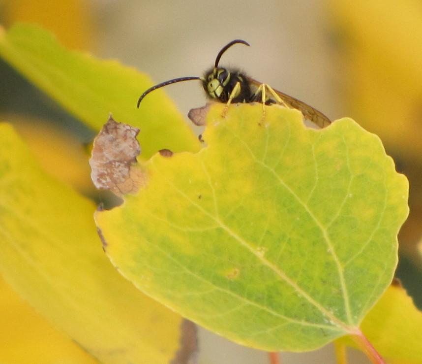Bug Eric: Wasp Wednesday: Western Yellowjacket