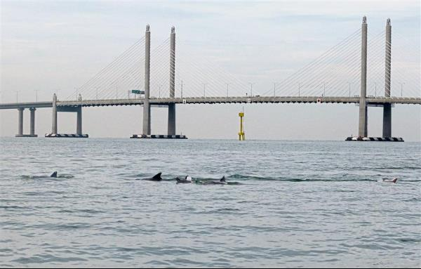 A school of dolphins swimming by Mark's boat near the Sultan Abdul Halim Mu'adzam Shah Bridge in Batu Kawan, Penang.