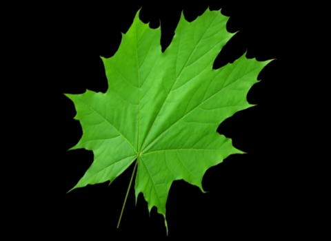 3d leaf with opacity