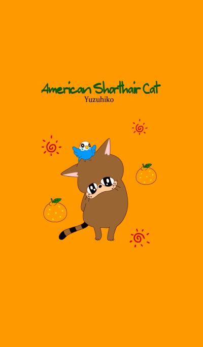 American Shorthair Yuzuhiko 3
