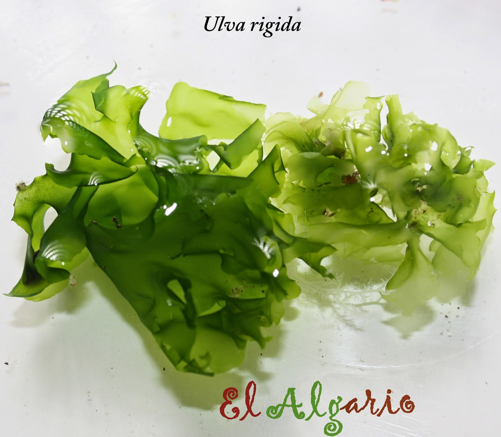 El algario: BISUTERÍA CON ALGAS  El algario: BIS...