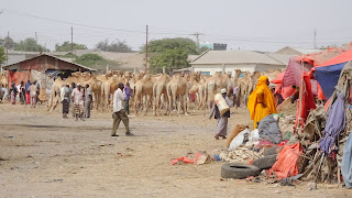 Somalilanders require camels for live so that they have milk for coffee