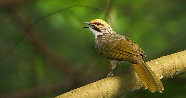 Tips dan Kiat Berternak Burung Cucakrawa