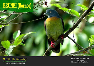 Little Green Pigeon copyright©Jungle Dave @Bunei