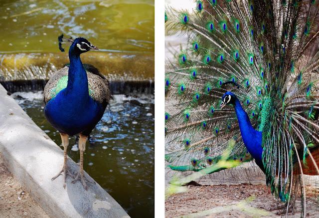 Peacocks - Parque Reina Sofia - Guardamar del Segura, Costa Blanca