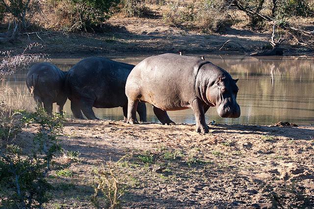 famiglia ippopotami kruger safari sud africa