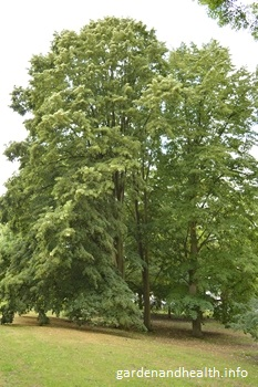 Tilia Or Lime Trees Can Grow Tall With A Rounded Shape And Are Ideal For Park