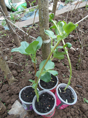 Broad Bean Seedlings May 80 Minute Allotment Green Fingered Blog