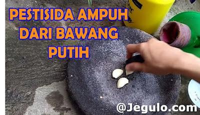 Membuat pestisida alami dari bawang putih