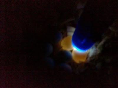 Telur Infertile