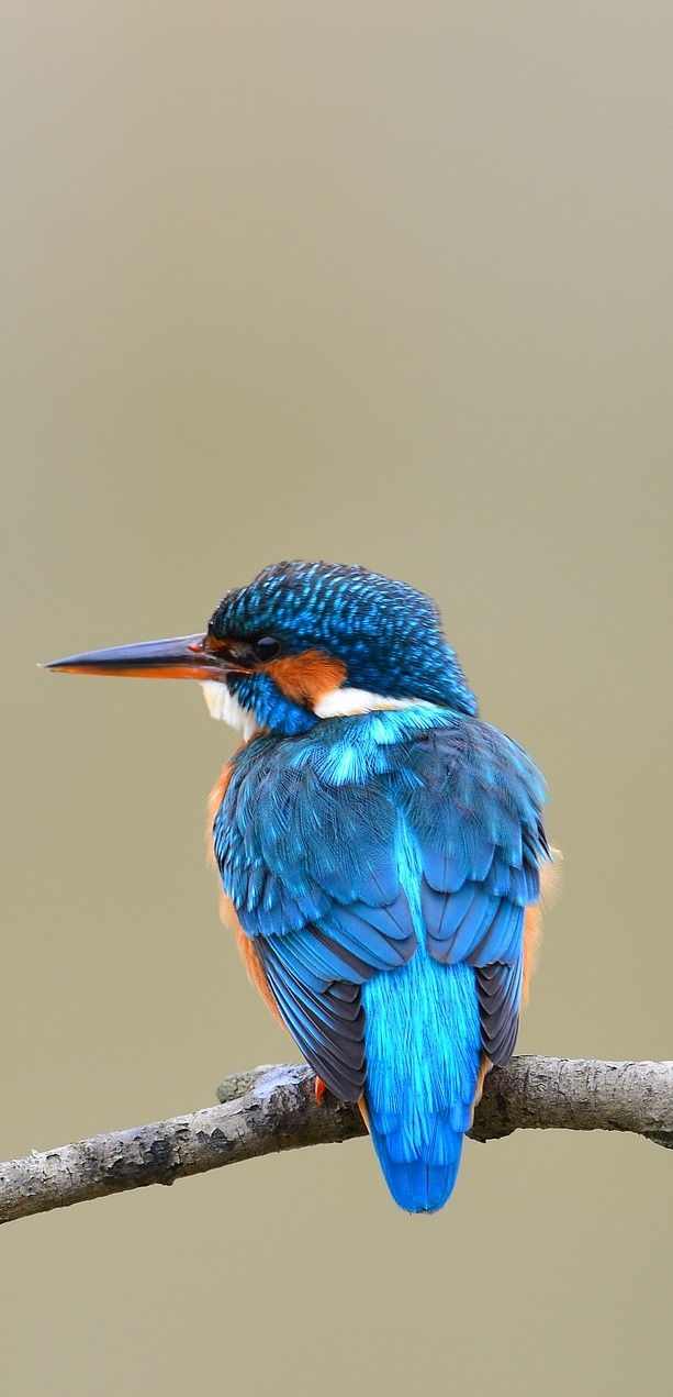 A kingfisher photo from the rear.