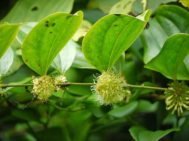 Smilax ovalifolia - திருநாமப்பாலை (மலைத்தாமரை