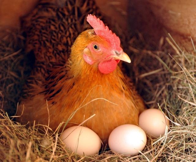 卵を抱いている  孵蛋中~