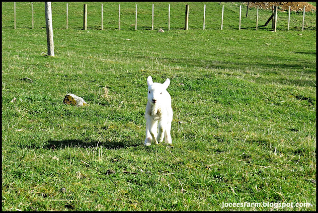 Our pet lamb @ Jocees Farm