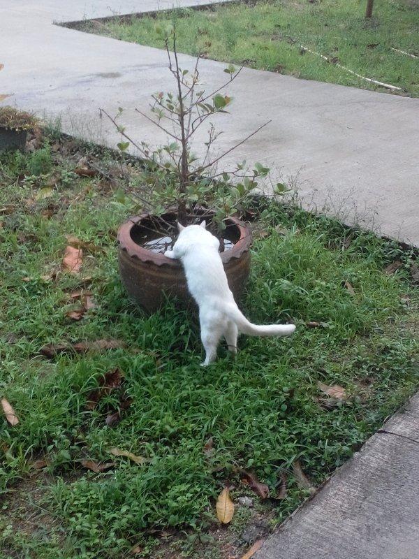 Кошка пьет воду из горшка