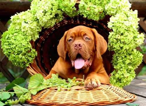 Can Dogs Eat Grapes?: Why Are Grapes Bad for Dogs