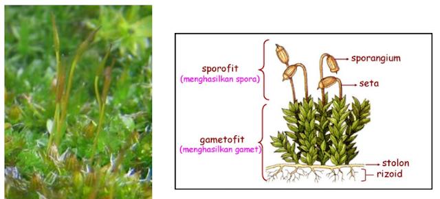 Tumbuhan lumut dengan sporofit muda dan bagian-bagian lumut