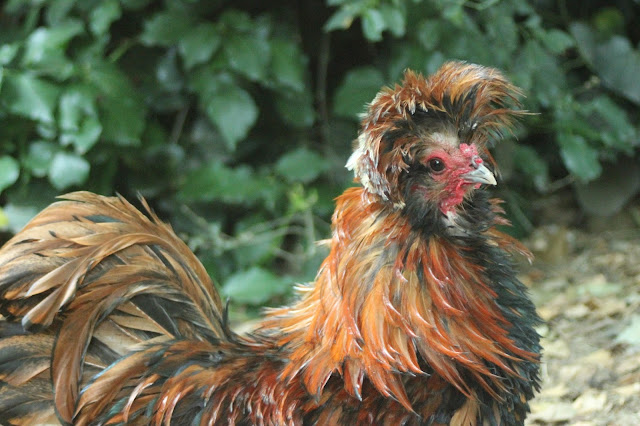 Frizzled Golden Polish Crested Rooster