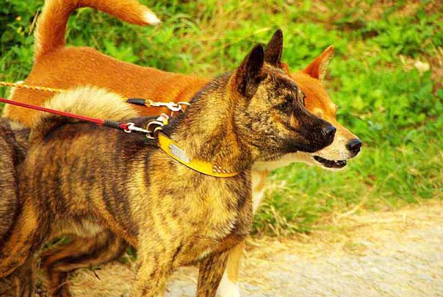 Ryukyu Inu, dogs
