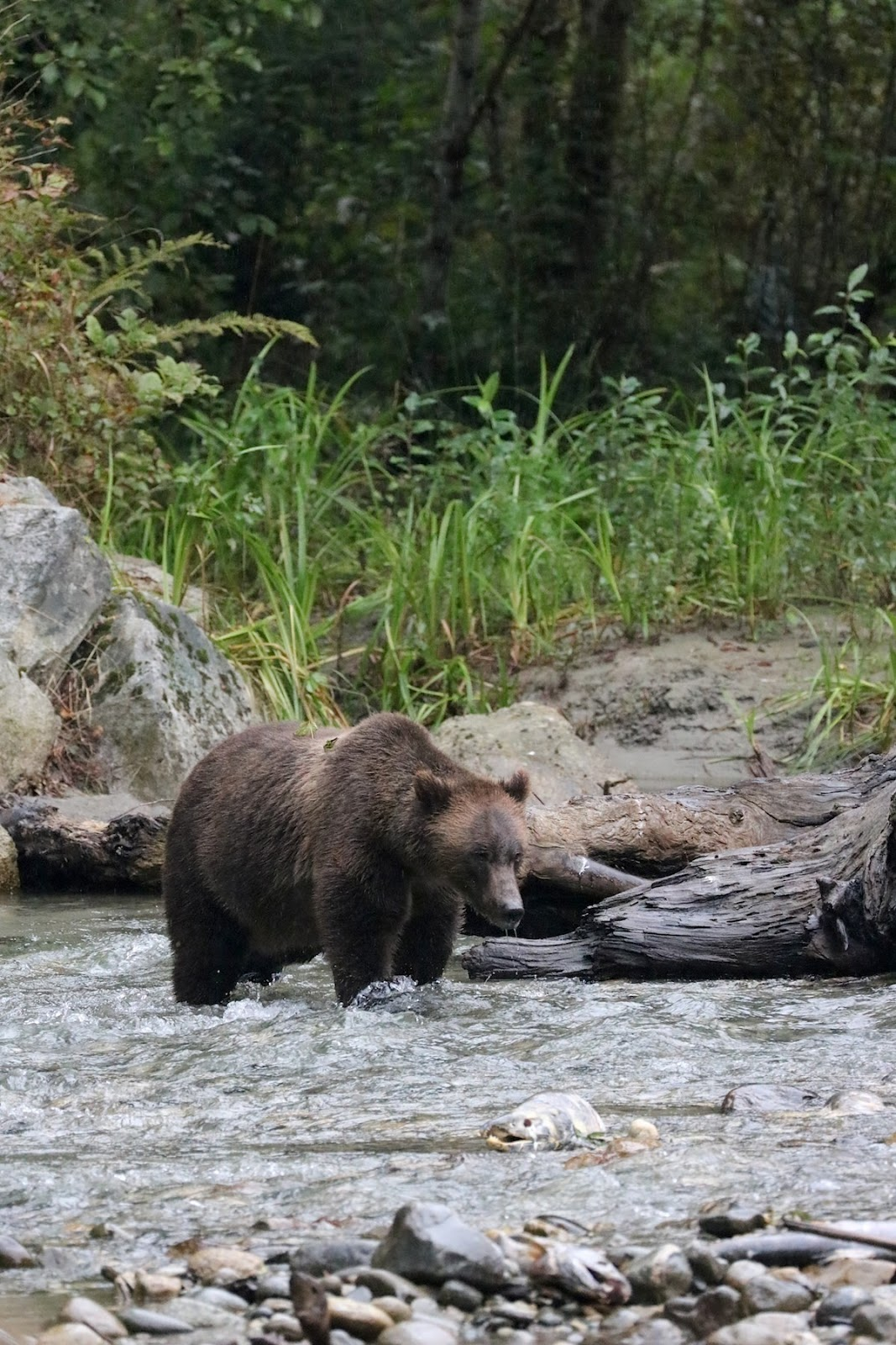 Homalco Wildlife Tours Grizzly bear tours british columbia vancouver blogger.