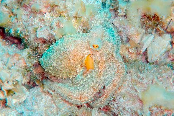 polvo-coral