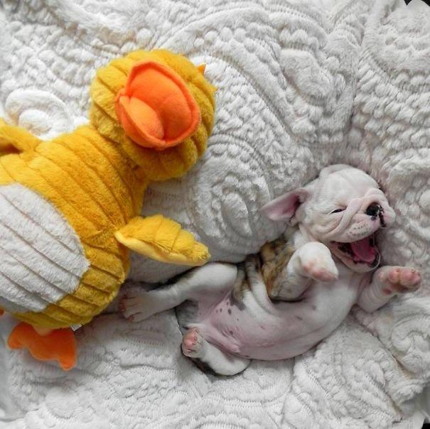 bulldog-puppy-cute-dog-photography-7