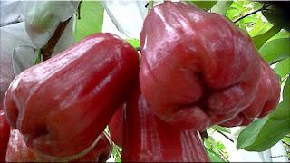 gambar buah jambu air