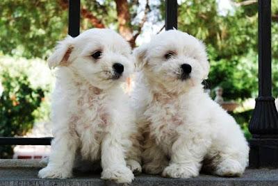 edad de los perros malteses
